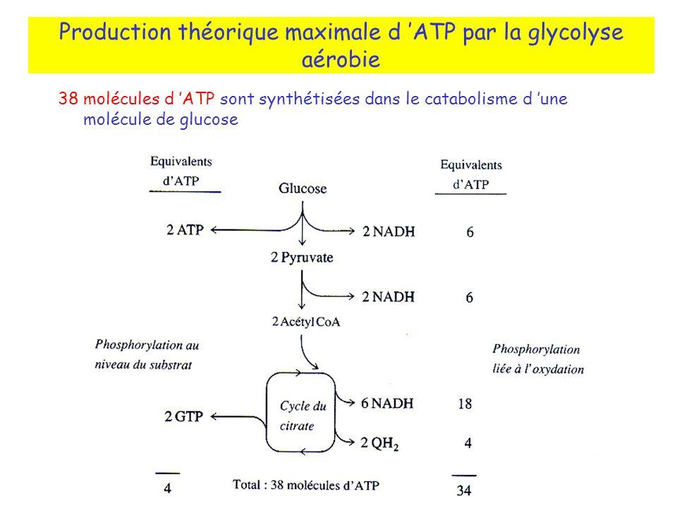 38 molécules d ATP sont synthétisées dans le catabolisme d une molécule de glucose Production théorique maximale d ATP par la glycolyse aérobie