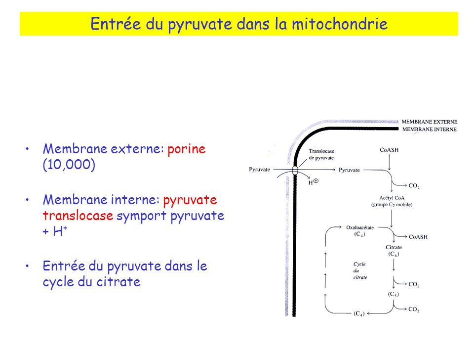 Entrée du pyruvate dans la mitochondrie Membrane externe: porine (10,000) Membrane interne: pyruvate translocase symport pyruvate + H + Entrée du pyruvate dans le cycle du citrate
