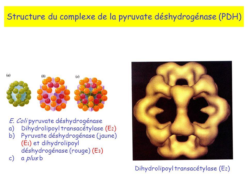 Structure du complexe de la pyruvate déshydrogénase (PDH) E.