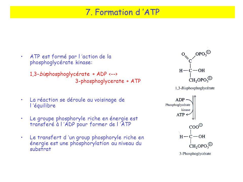 7. Formation d ATP ATP est formé par l action de la phosphoglycérate kinase: 1,3-bisphosphoglycérate + ADP 3-phosphoglycerate + ATP La réaction se dér