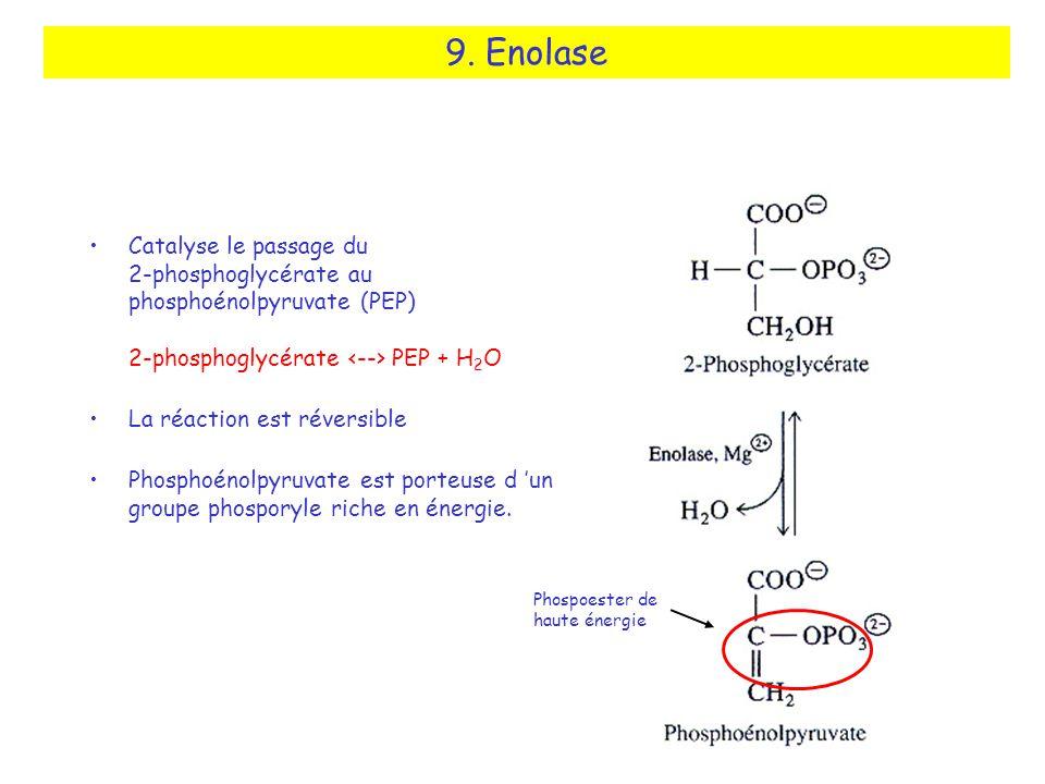 9. Enolase Catalyse le passage du 2-phosphoglycérate au phosphoénolpyruvate (PEP) 2-phosphoglycérate PEP + H 2 O La réaction est réversible Phosphoéno