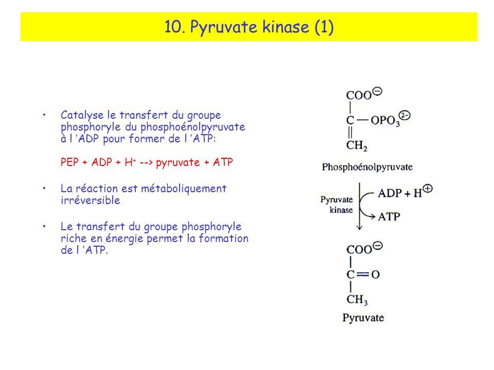 10. Pyruvate kinase (1) Catalyse le transfert du groupe phosphoryle du phosphoénolpyruvate à l ADP pour former de l ATP: PEP + ADP + H + --> pyruvate
