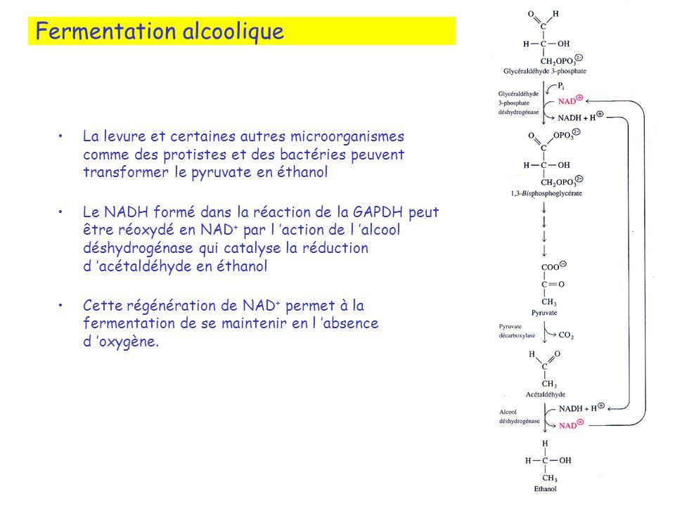 Fermentation alcoolique La levure et certaines autres microorganismes comme des protistes et des bactéries peuvent transformer le pyruvate en éthanol Le NADH formé dans la réaction de la GAPDH peut être réoxydé en NAD + par l action de l alcool déshydrogénase qui catalyse la réduction d acétaldéhyde en éthanol Cette régénération de NAD + permet à la fermentation de se maintenir en l absence d oxygène.