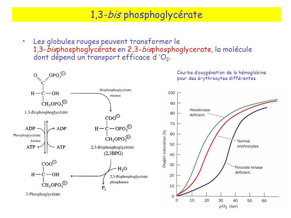 1,3-bis phosphoglycérate Les globules rouges peuvent transformer le 1,3-bisphosphoglycérate en 2,3-bisphosphoglycerate, la molécule dont dépend un transport efficace d O 2.
