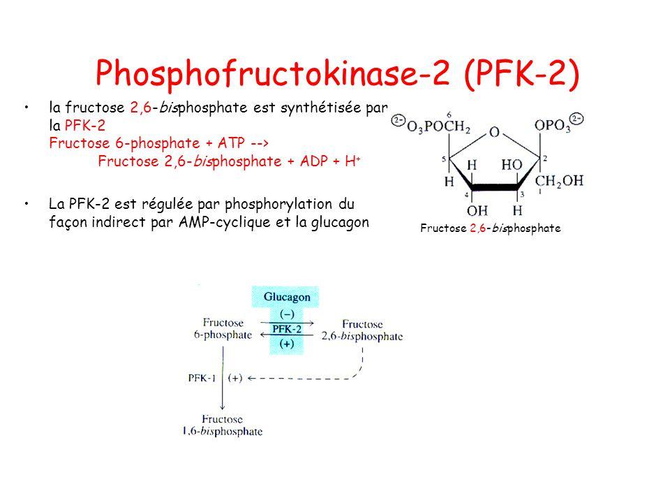 Phosphofructokinase-2 (PFK-2) Fructose 2,6-bisphosphate la fructose 2,6-bisphosphate est synthétisée par la PFK-2 Fructose 6-phosphate + ATP --> Fructose 2,6-bisphosphate + ADP + H + La PFK-2 est régulée par phosphorylation du façon indirect par AMP-cyclique et la glucagon