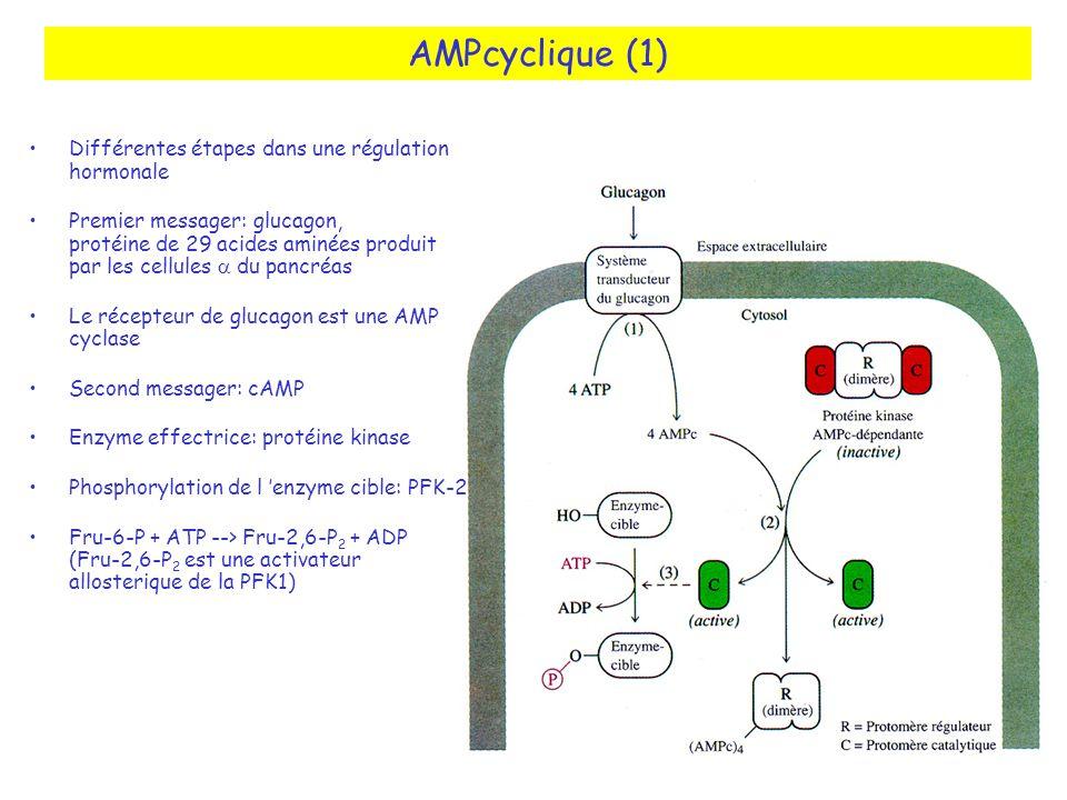 AMPcyclique (1) Différentes étapes dans une régulation hormonale Premier messager: glucagon, protéine de 29 acides aminées produit par les cellules du pancréas Le récepteur de glucagon est une AMP cyclase Second messager: cAMP Enzyme effectrice: protéine kinase Phosphorylation de l enzyme cible: PFK-2 Fru-6-P + ATP --> Fru-2,6-P 2 + ADP (Fru-2,6-P 2 est une activateur allosterique de la PFK1)