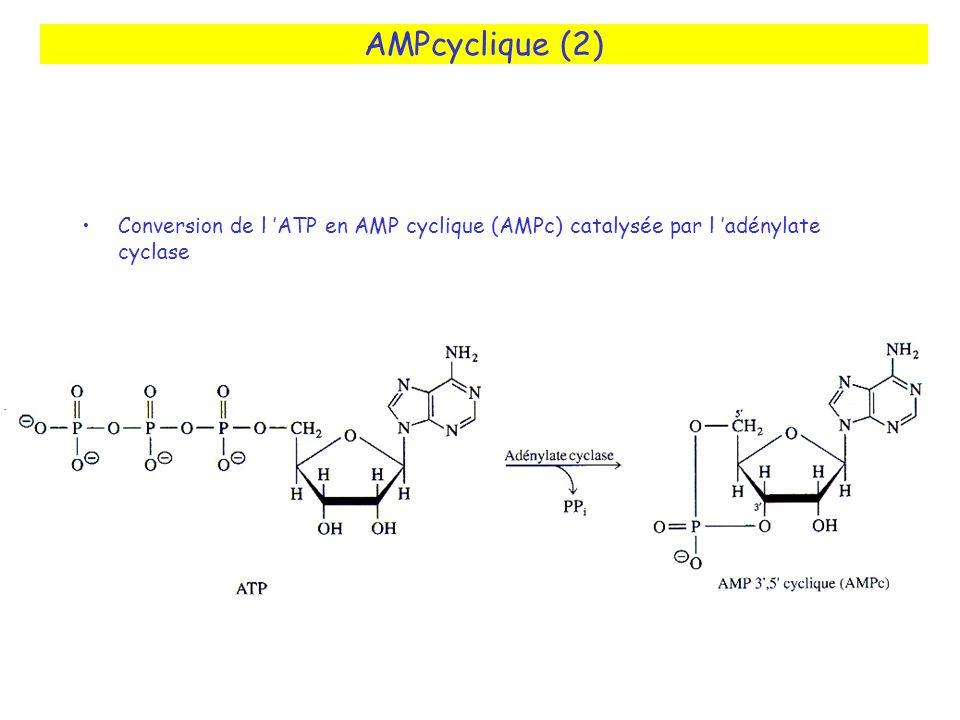AMPcyclique (2) Conversion de l ATP en AMP cyclique (AMPc) catalysée par l adénylate cyclase