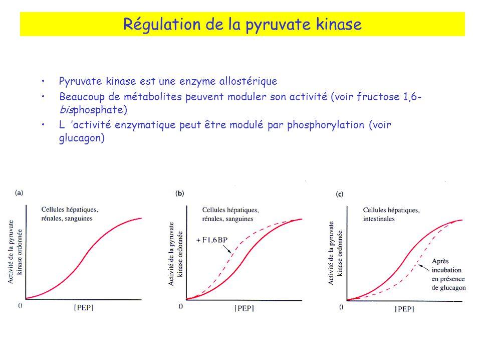 Régulation de la pyruvate kinase Pyruvate kinase est une enzyme allostérique Beaucoup de métabolites peuvent moduler son activité (voir fructose 1,6- bisphosphate) L activité enzymatique peut être modulé par phosphorylation (voir glucagon)