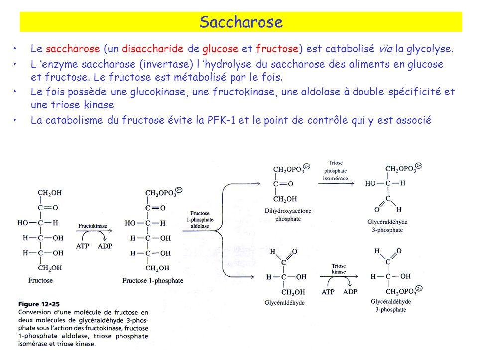 Saccharose Le saccharose (un disaccharide de glucose et fructose) est catabolisé via la glycolyse. L enzyme saccharase (invertase) l hydrolyse du sacc