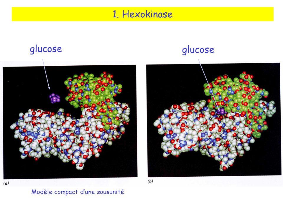 glucose Modèle compact dune sousunité