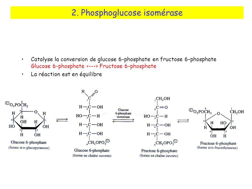 Catalyse la conversion de glucose 6-phosphate en fructose 6-phosphate Glucose 6-phosphate Fructose 6-phosphate La réaction est en équilibre 2.