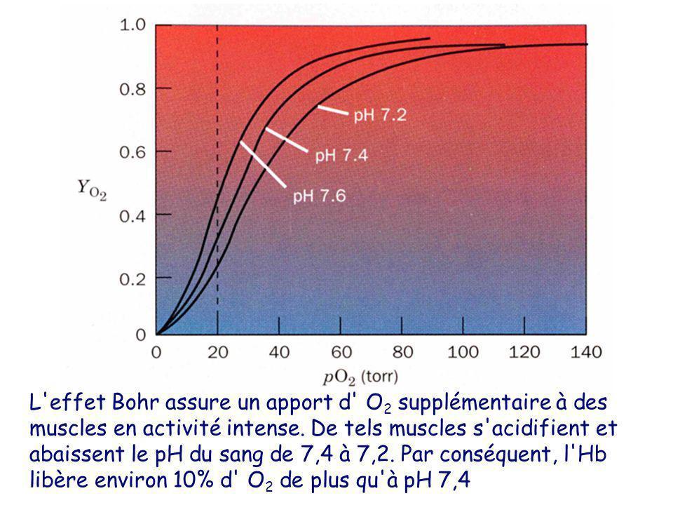L'effet Bohr assure un apport d' O 2 supplémentaire à des muscles en activité intense. De tels muscles s'acidifient et abaissent le pH du sang de 7,4