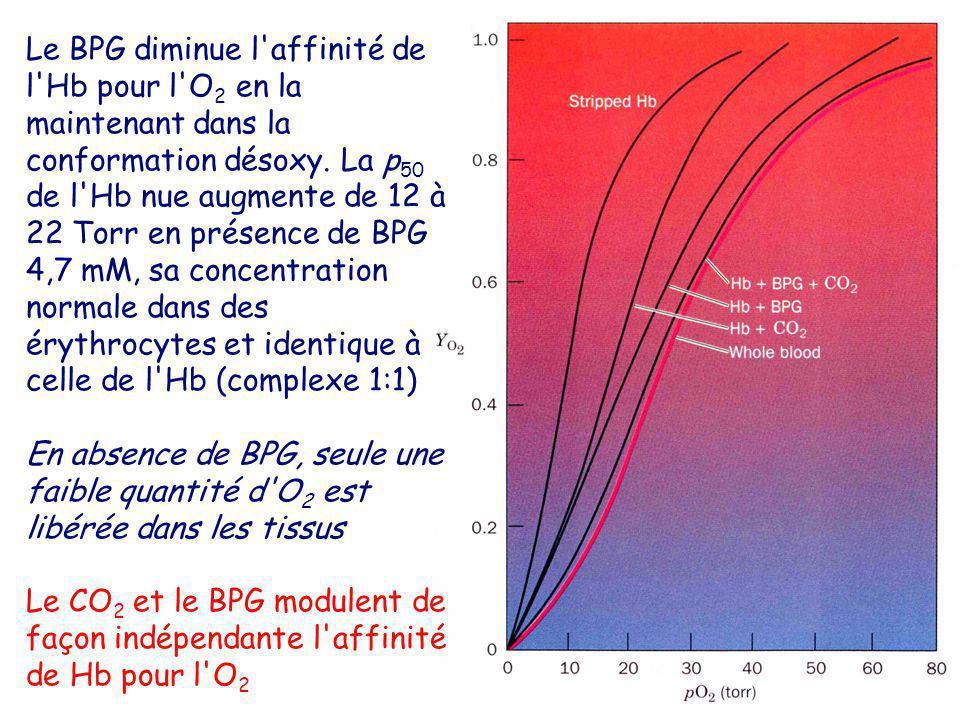 Le BPG diminue l'affinité de l'Hb pour l'O 2 en la maintenant dans la conformation désoxy. La p 50 de l'Hb nue augmente de 12 à 22 Torr en présence de