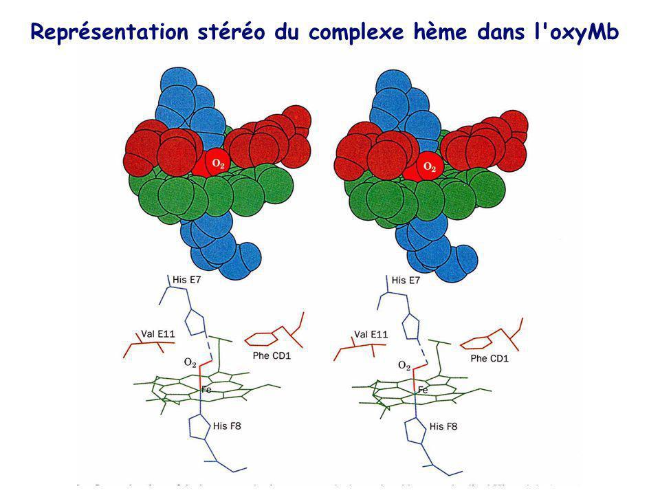 Représentation stéréo du complexe hème dans l'oxyMb