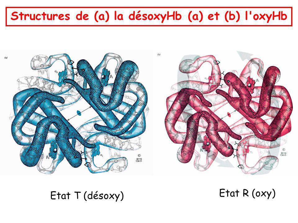 Structures de (a) la désoxyHb (a) et (b) l'oxyHb Etat T (désoxy) Etat R (oxy)