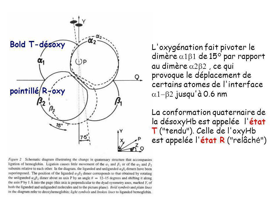 Bold T-désoxy pointillé R-oxy L oxygénation fait pivoter le dimère de 15° par rapport au dimère, ce qui provoque le déplacement de certains atomes de l interface jusqu à 0.6 nm La conformation quaternaire de la désoxyHb est appelée l état T ( tendu ).