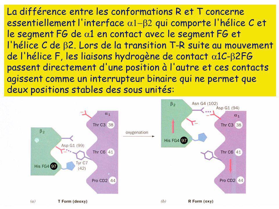 La différence entre les conformations R et T concerne essentiellement l'interface qui comporte l'hélice C et le segment FG de 1 en contact avec le seg
