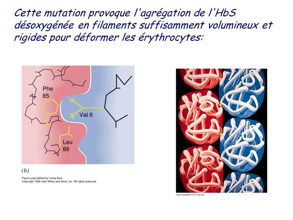 Cette mutation provoque l agrégation de l HbS désoxygénée en filaments suffisamment volumineux et rigides pour déformer les érythrocytes: