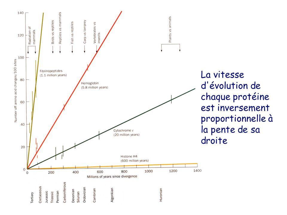 La vitesse d évolution de chaque protéine est inversement proportionnelle à la pente de sa droite