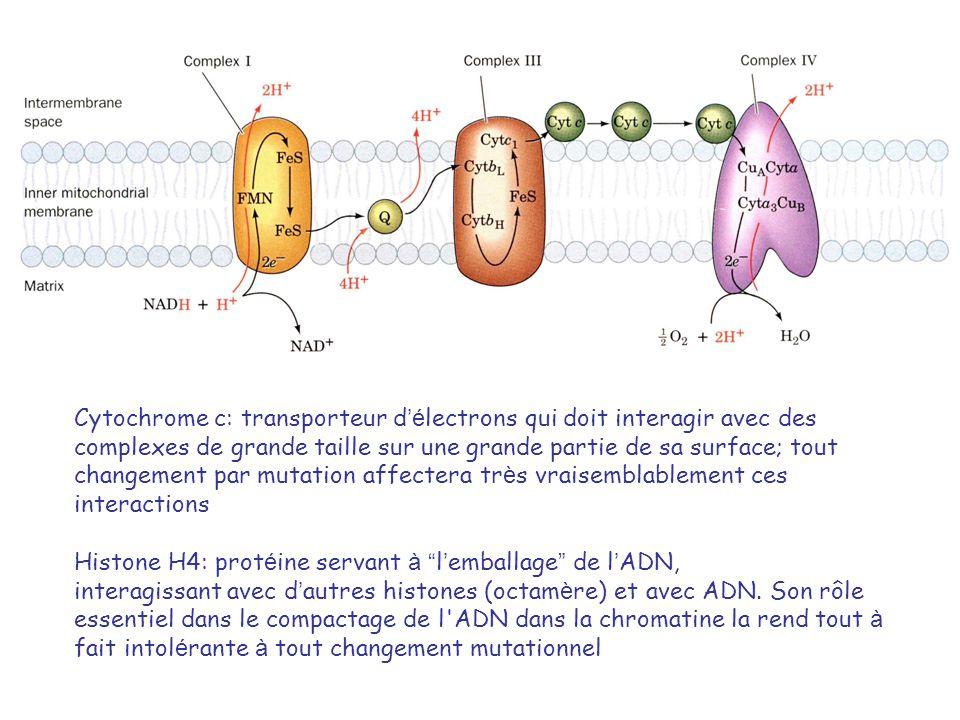 Cytochrome c: transporteur d é lectrons qui doit interagir avec des complexes de grande taille sur une grande partie de sa surface; tout changement par mutation affectera tr è s vraisemblablement ces interactions Histone H4: prot é ine servant à l emballage de l ADN, interagissant avec d autres histones (octam è re) et avec ADN.
