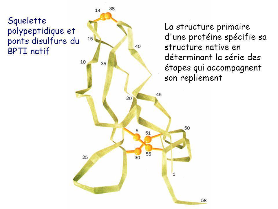 La structure primaire d'une protéine spécifie sa structure native en déterminant la série des étapes qui accompagnent son repliement Squelette polypep