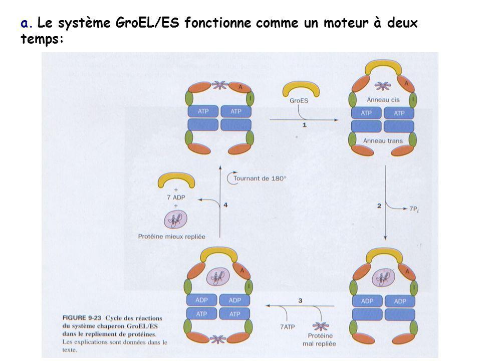 a. Le système GroEL/ES fonctionne comme un moteur à deux temps: