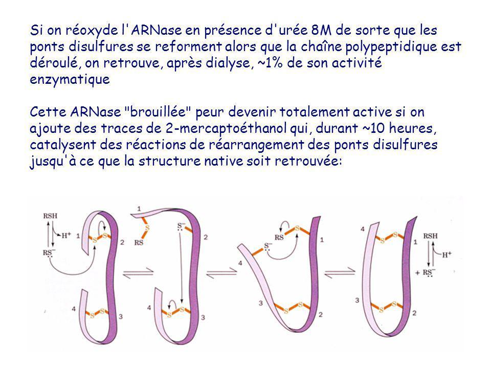 Si on réoxyde l'ARNase en présence d'urée 8M de sorte que les ponts disulfures se reforment alors que la chaîne polypeptidique est déroulé, on retrouv