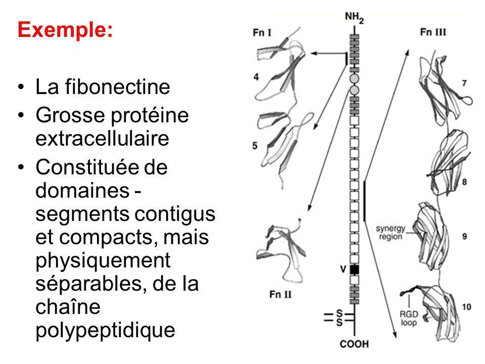 Exemple: La fibonectine Grosse protéine extracellulaire Constituée de domaines - segments contigus et compacts, mais physiquement séparables, de la ch