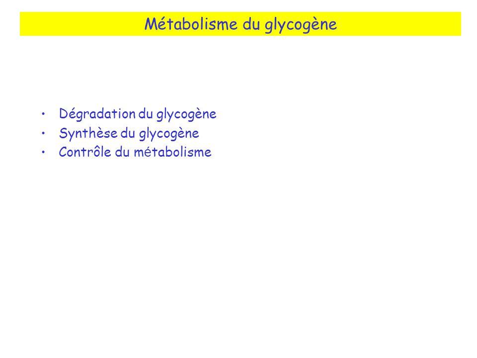 Métabolisme du glycogène Dégradation du glycogène Synthèse du glycogène Contrôle du m é tabolisme