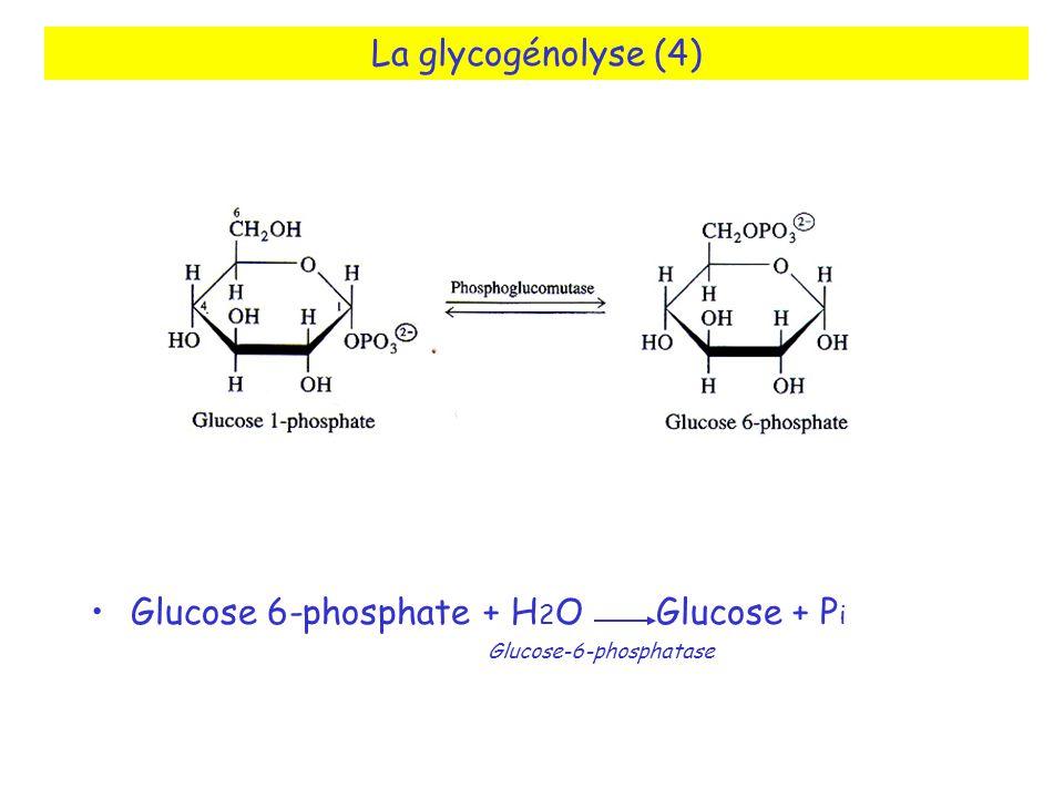 La glycogénolyse (4) Glucose 6-phosphate + H 2 O Glucose + P i Glucose-6-phosphatase