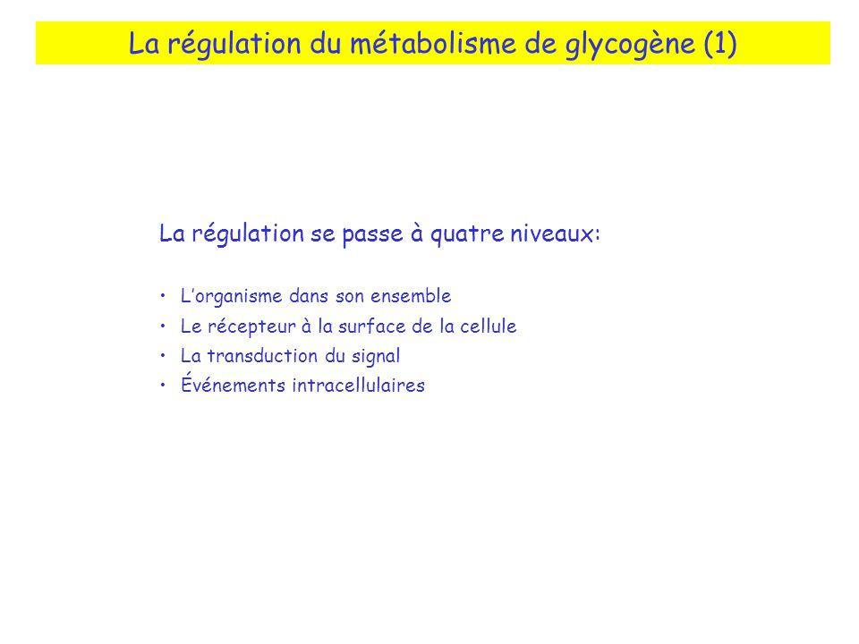 La régulation du métabolisme de glycogène (1) La régulation se passe à quatre niveaux: Lorganisme dans son ensemble Le récepteur à la surface de la ce