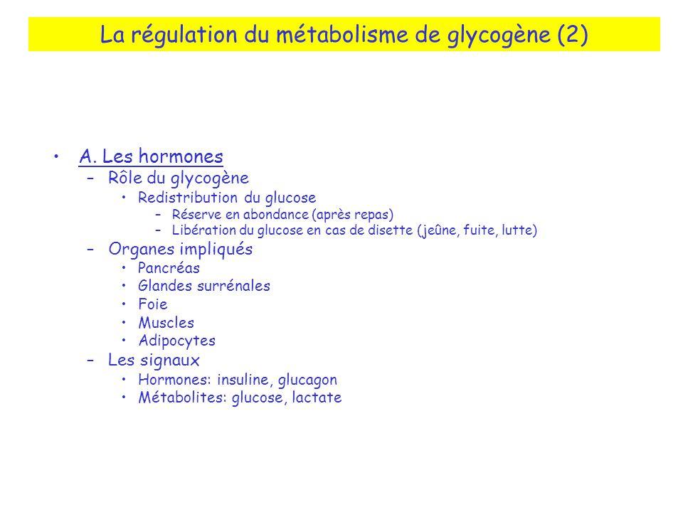 La régulation du métabolisme de glycogène (2) A. Les hormones –Rôle du glycogène Redistribution du glucose –Réserve en abondance (après repas) –Libéra