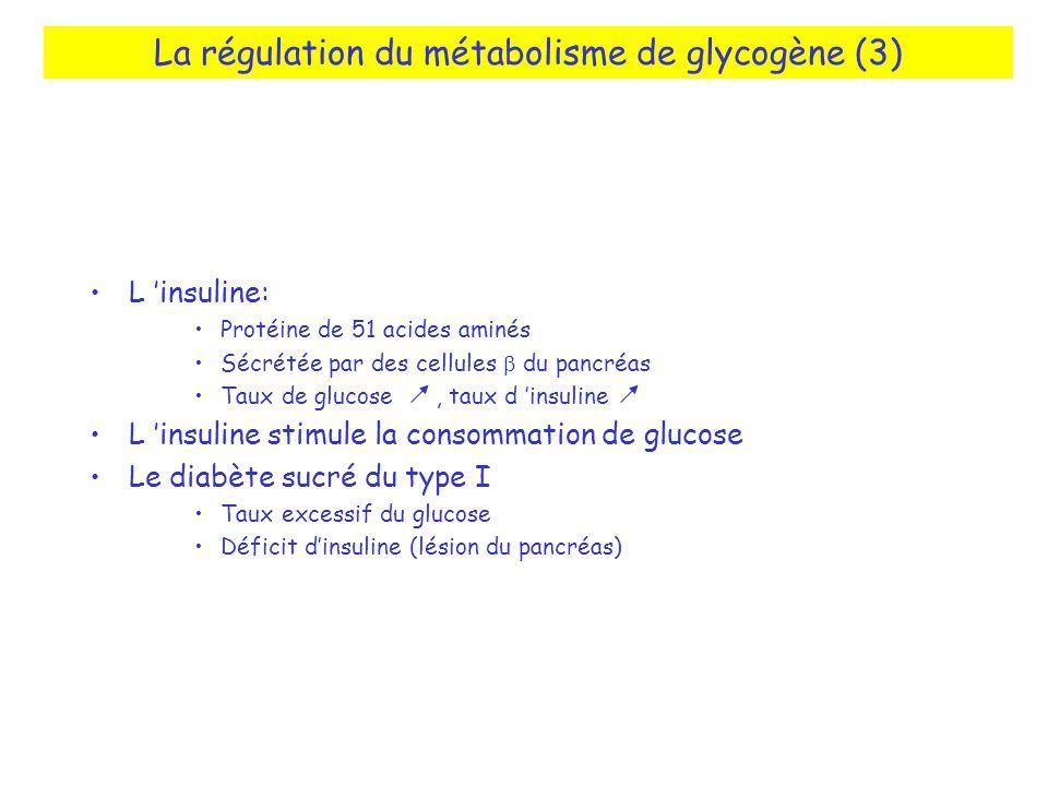 La régulation du métabolisme de glycogène (3) L insuline: Protéine de 51 acides aminés Sécrétée par des cellules du pancréas Taux de glucose, taux d i