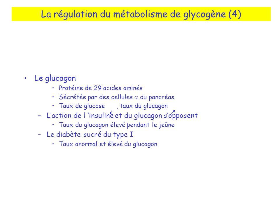 La régulation du métabolisme de glycogène (4) Le glucagon Protéine de 29 acides aminés Sécrétée par des cellules du pancréas Taux de glucose, taux du