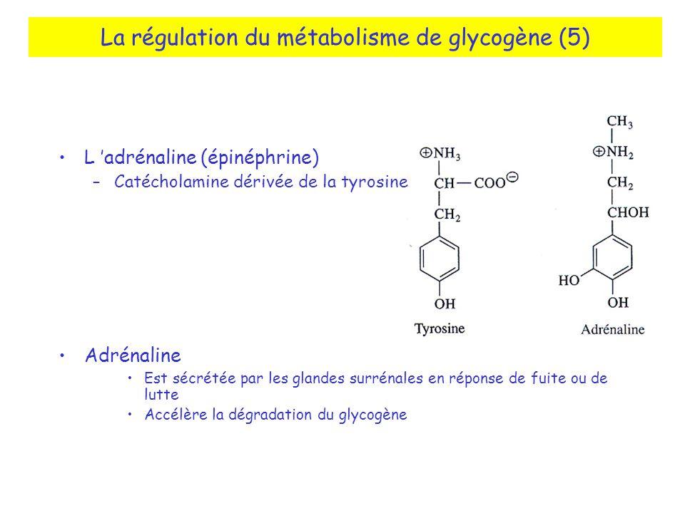 La régulation du métabolisme de glycogène (5) L adrénaline (épinéphrine) –Catécholamine dérivée de la tyrosine Adrénaline Est sécrétée par les glandes