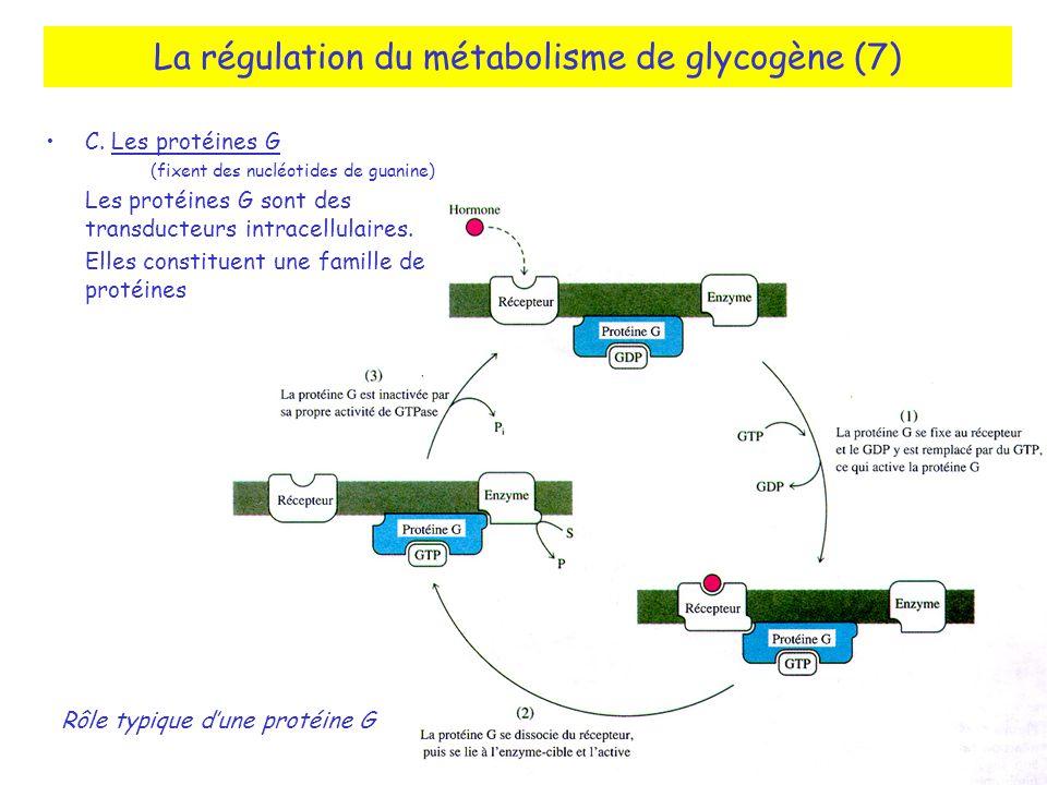 La régulation du métabolisme de glycogène (7) C. Les protéines G (fixent des nucléotides de guanine) Les protéines G sont des transducteurs intracellu