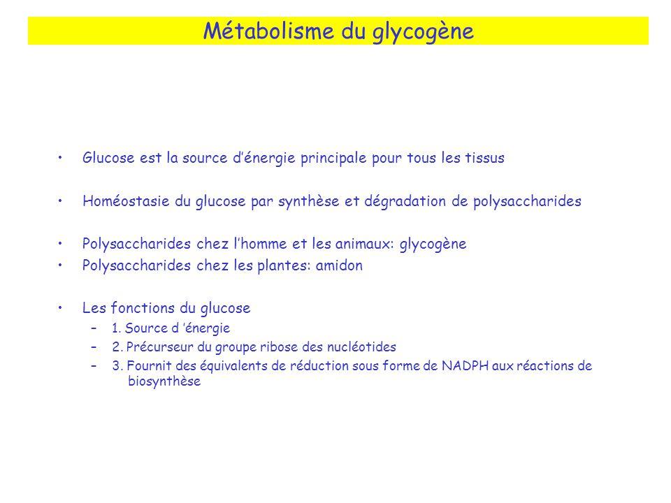 Métabolisme du glycogène Glucose est la source dénergie principale pour tous les tissus Homéostasie du glucose par synthèse et dégradation de polysacc