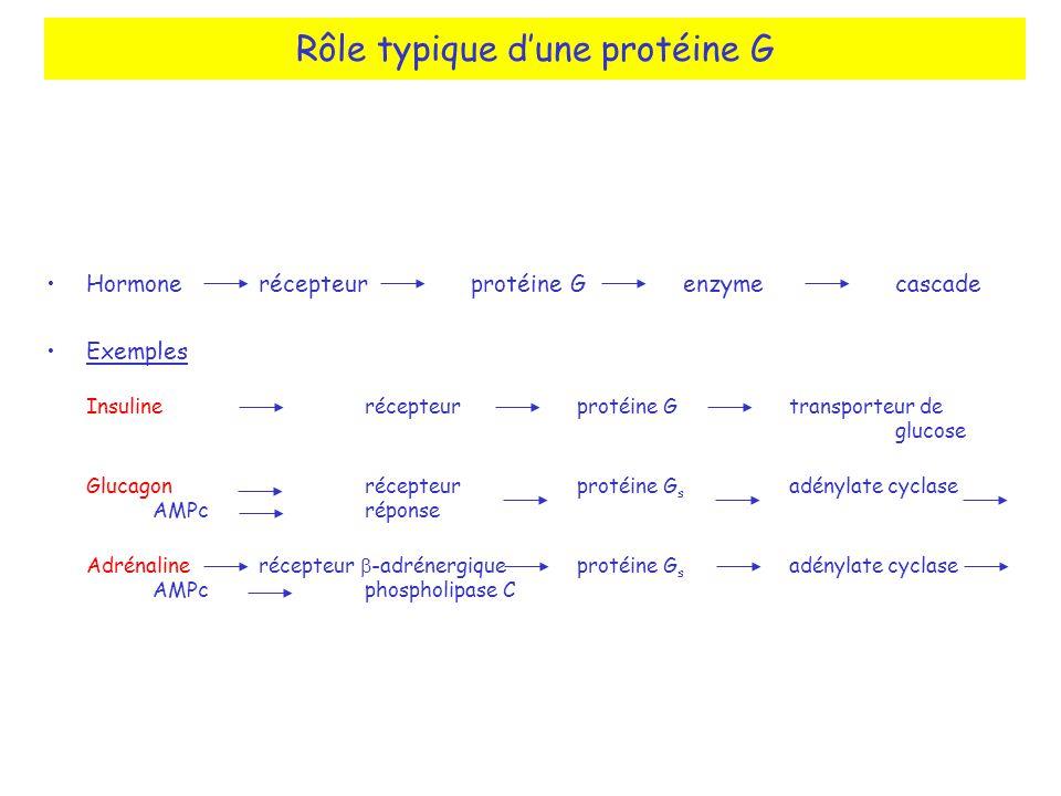 Hormonerécepteurprotéine Genzymecascade Exemples Insulinerécepteurprotéine Gtransporteur de glucose Glucagonrécepteurprotéine G s adénylate cyclase AM