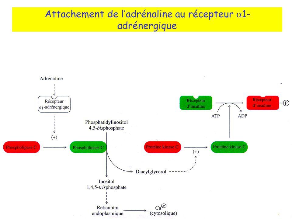 Attachement de ladrénaline au récepteur 1- adrénergique