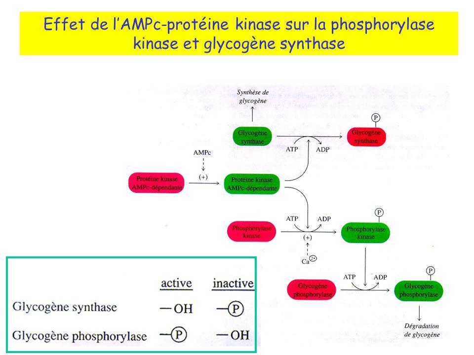 Effet de lAMPc-protéine kinase sur la phosphorylase kinase et glycogène synthase