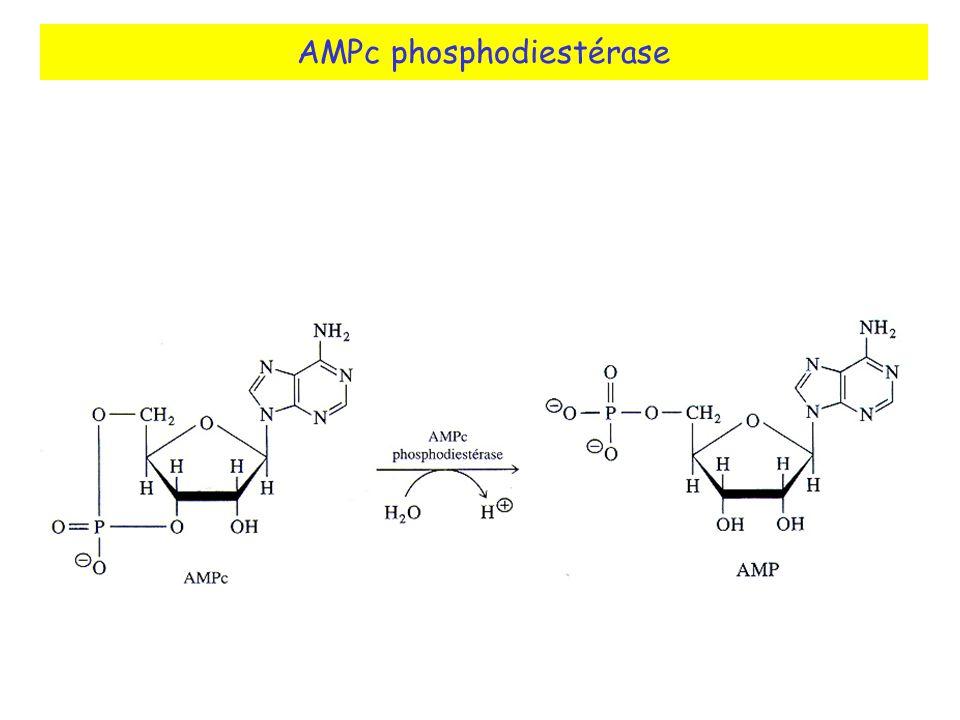 AMPc phosphodiestérase