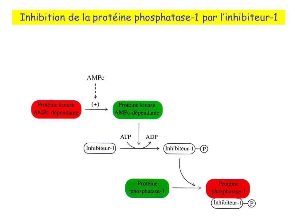 Inhibition de la protéine phosphatase-1 par linhibiteur-1