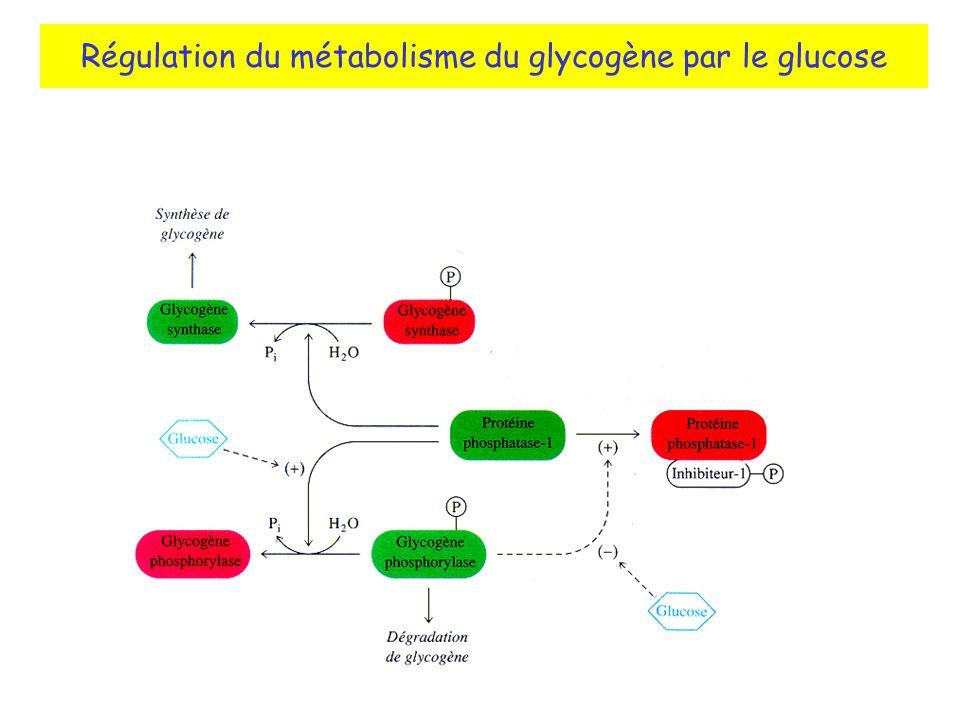 Régulation du métabolisme du glycogène par le glucose