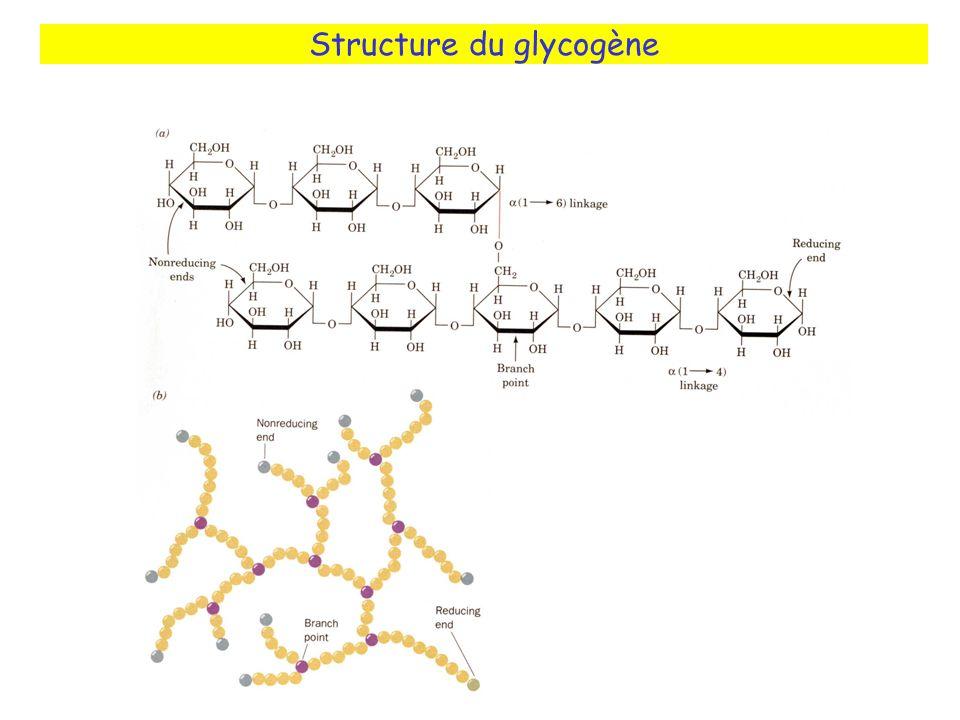 Structure du glycogène