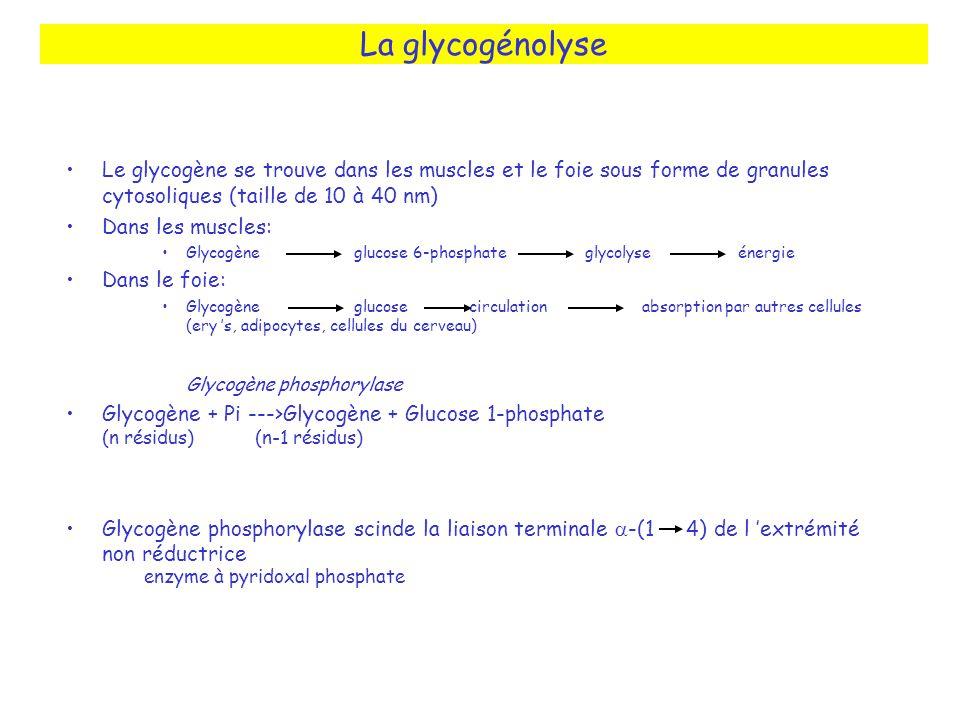 La glycogénolyse Le glycogène se trouve dans les muscles et le foie sous forme de granules cytosoliques (taille de 10 à 40 nm) Dans les muscles: Glyco