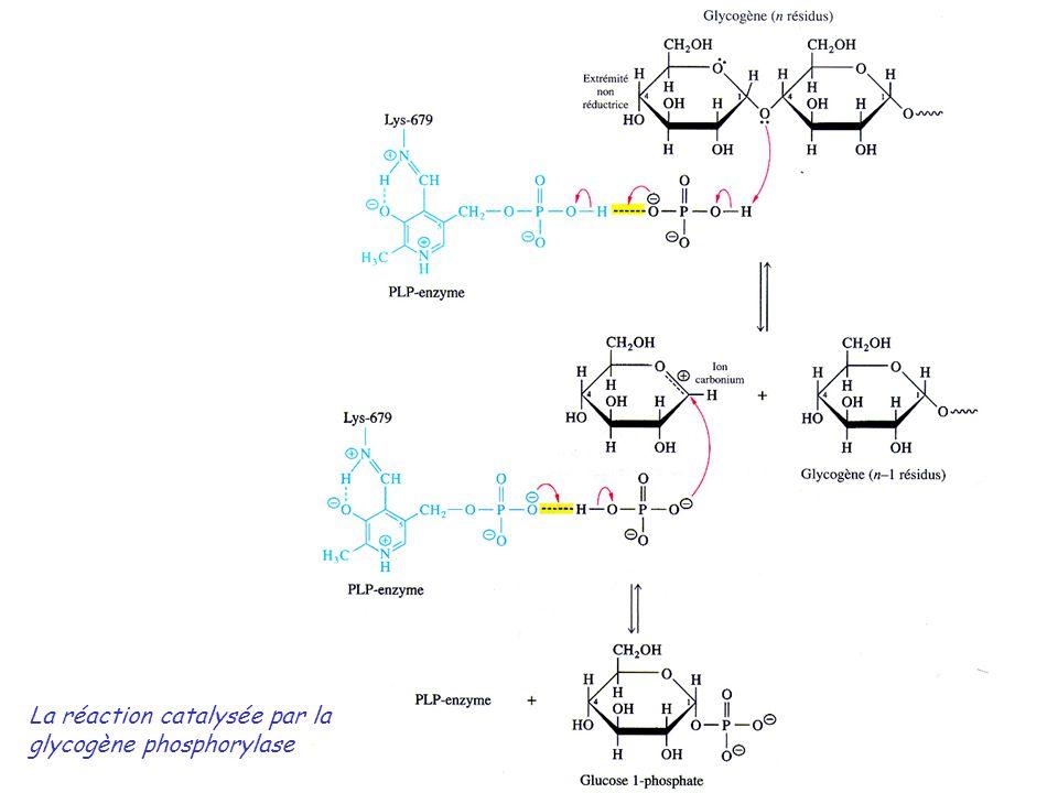 La réaction catalysée par la glycogène phosphorylase