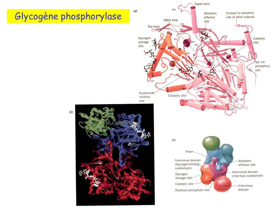Glycogène phosphorylase