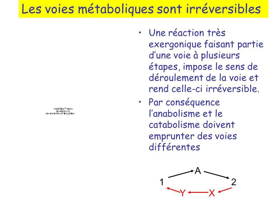 Les voies métaboliques sont irréversibles Une réaction très exergonique faisant partie dune voie à plusieurs étapes, impose le sens de déroulement de la voie et rend celle-ci irréversible.