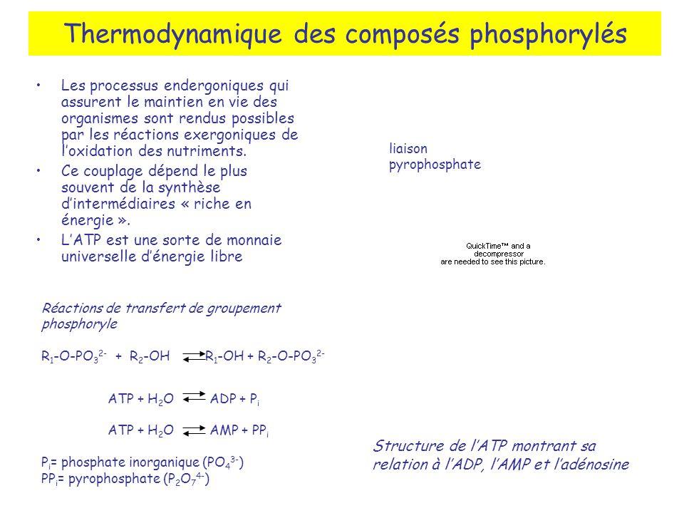 Thermodynamique des composés phosphorylés Les processus endergoniques qui assurent le maintien en vie des organismes sont rendus possibles par les réactions exergoniques de loxidation des nutriments.