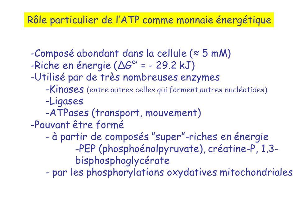 Rôle particulier de lATP comme monnaie énergétique -Composé abondant dans la cellule ( 5 mM) -Riche en énergie (G° = - 29.2 kJ) -Utilisé par de très nombreuses enzymes -Kinases (entre autres celles qui forment autres nucléotides) -Ligases -ATPases (transport, mouvement) -Pouvant être formé - à partir de composés super-riches en énergie -PEP (phosphoénolpyruvate), créatine-P, 1,3- bisphosphoglycérate - par les phosphorylations oxydatives mitochondriales